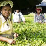 Co kryje herbata przemysłowa? HErbata 150x150
